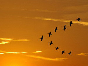 orange-geese
