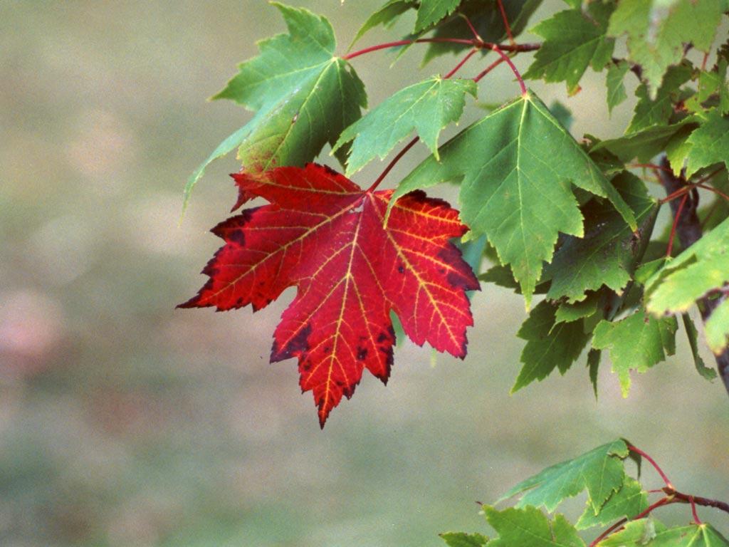 شجرة القيقب  Red-maple-tree1